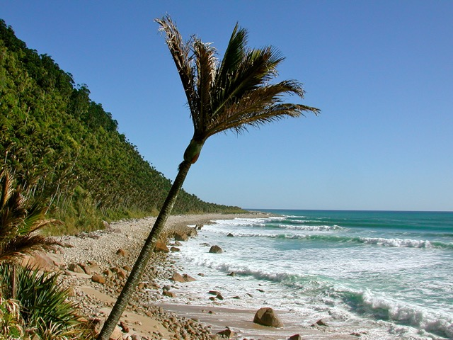 West Coast Nikau Palm  (Photo by Paul Murray)