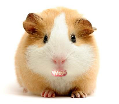 guinea_pig-teeth